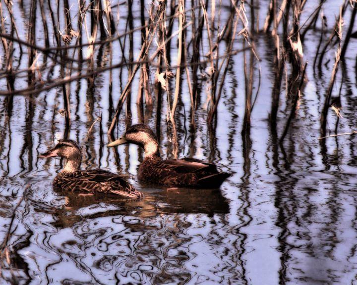 American Black Ducks - johnny-3