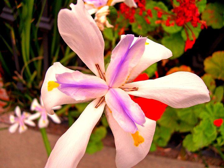 African Iris - Strange World