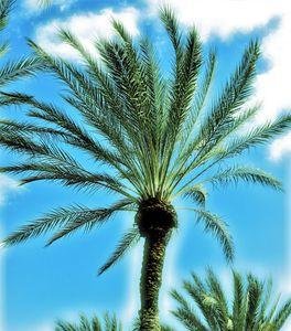 Date palm tree