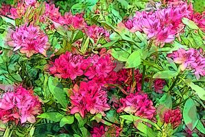 RHODODENDRON 4B