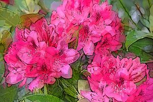RHODODENDRON 12