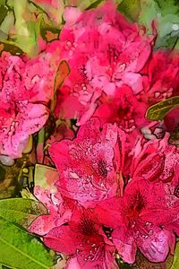 RHODODENDRON 13