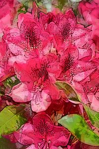 RHODODENDRON 16