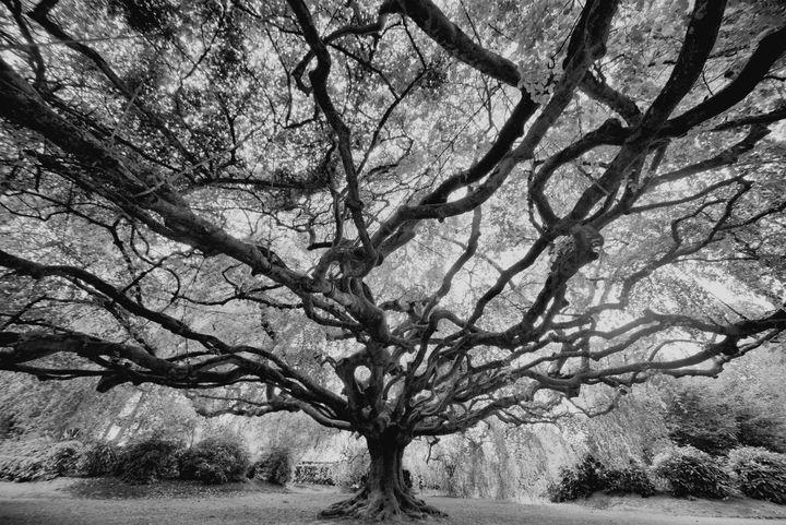 TENTACULAR TREE 2BW - JEAN-JACQUES MASSOU