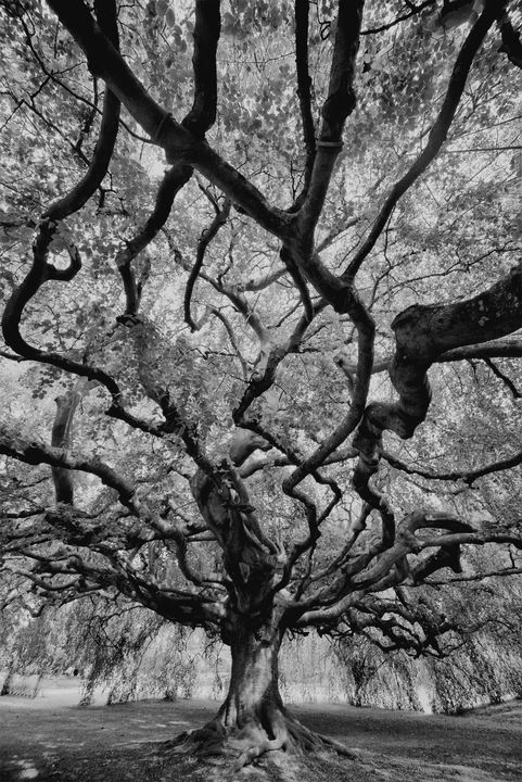 TENTACULAR TREE 3BW - JEAN-JACQUES MASSOU