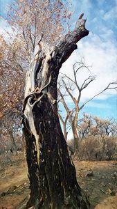 Cottonwood Trunk