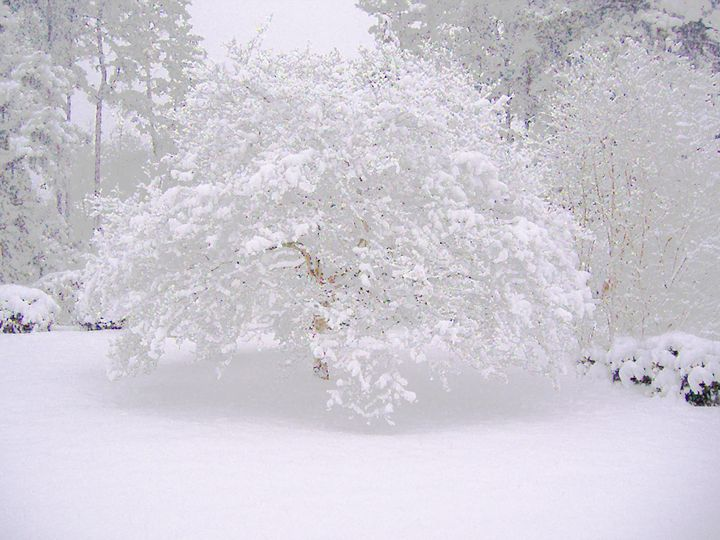 Dogwood In Snow - CaPe Artworks