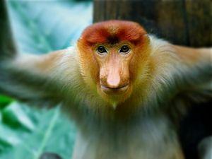 Proboscis Monkey - Dimage Studios