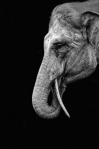 Indonesian Elephant - Dimage Studios