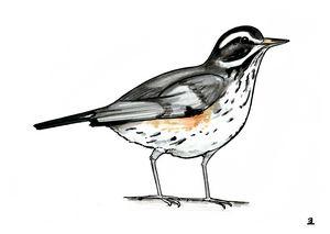 Wimpy thrush bird