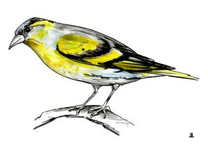 Alder siskin bird