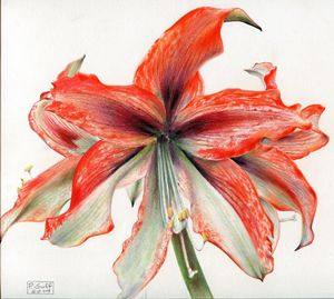Amaryllis cybister hybrid