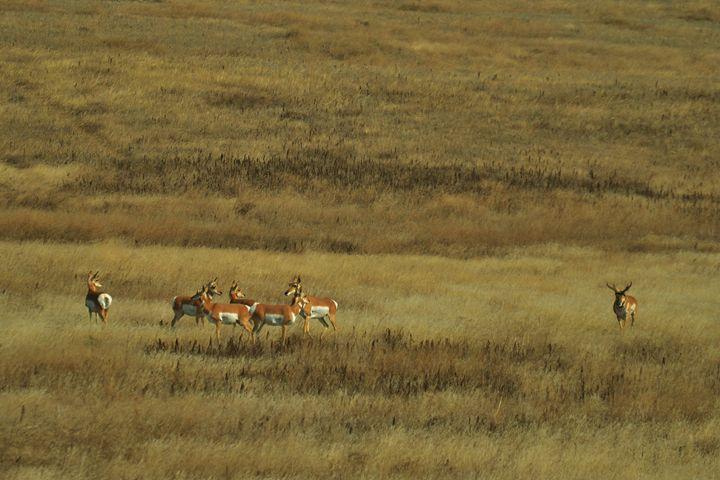 Pronghorn herd in field - 56th Street Photo