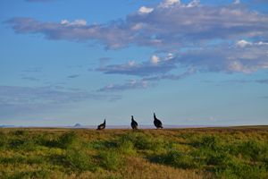 Turkeys gazing at Thunder Butte - 56th Street Photo