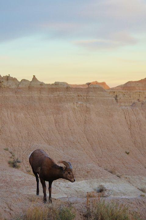 Long horn sheep - Ram - 56th Street Photo