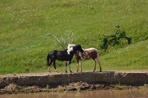 Horses at the stock pond
