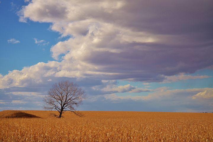 Tree in corn Field - 56th Street Photo