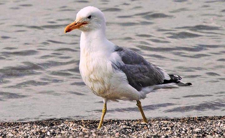 Lake Seagull - Mistyck Moon Creations Gallery