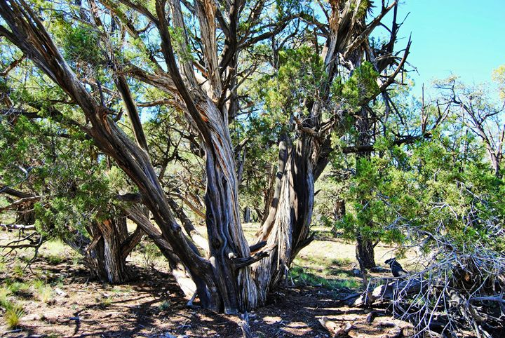 Canyon Trees - Mistyck Moon Creations Gallery