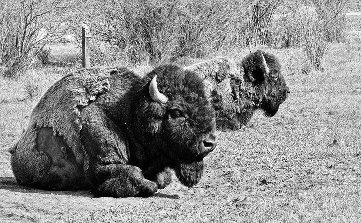 Montana Bison - Mistyck Moon's Turmoil Of The Mind