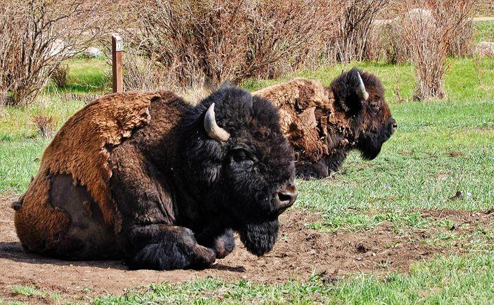 Yellowstone Bisons - Mistyck Moon's Turmoil Of The Mind