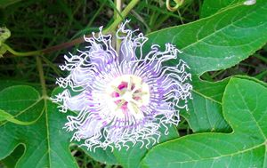 Passion Flower - Mistyck Moon Creations Gallery