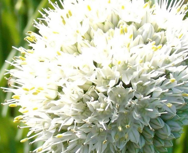Macro Green Onion Blossom - Mistyck Moon's Turmoil Of The Mind