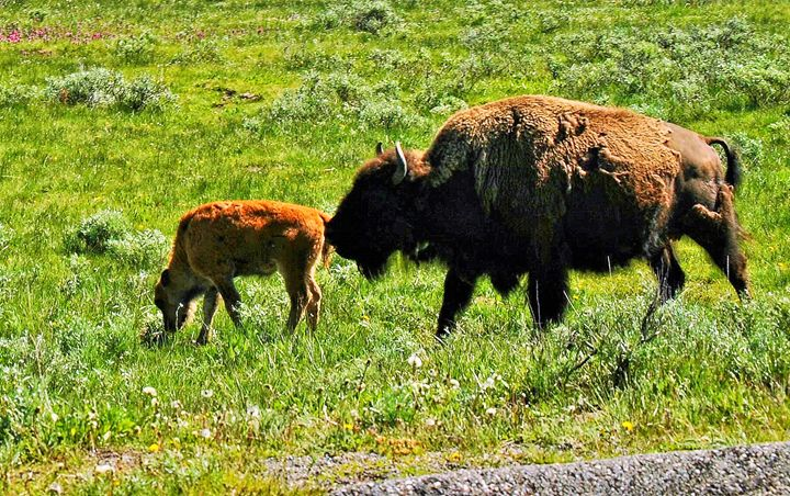 Bison Family - Mistyck Moon Creations Gallery