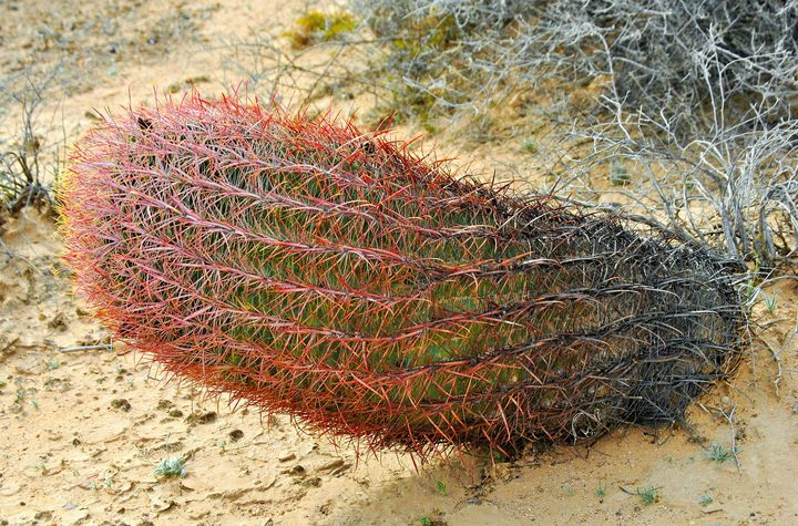 Barrel Cactus - Mistyck Moon's Turmoil Of The Mind