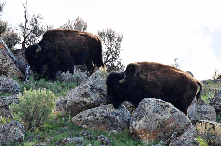 Gardiner Montana Bison - Mistyck Moon's Turmoil Of The Mind