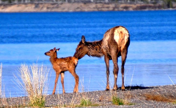 Mom and Baby Elk - Mistyck Moon's Turmoil Of The Mind