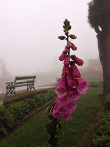Foxglove in the fog