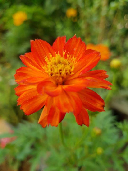 Orange Cosmos - Di Fiore