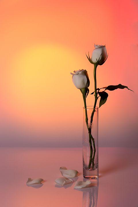 White Rose Sunset - Teigan Blackshaw Photographer