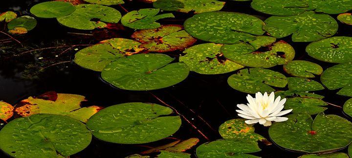 White Water Lilly - Joe Szabo Photography