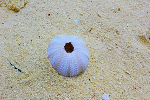 Skeleton of a Sea Urchin on beach