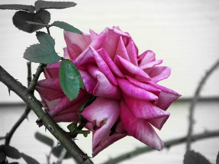 Greying Rose - Lenorah Dowler
