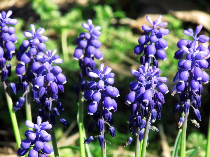 Wilting Purple Flowers - Lenorah Dowler