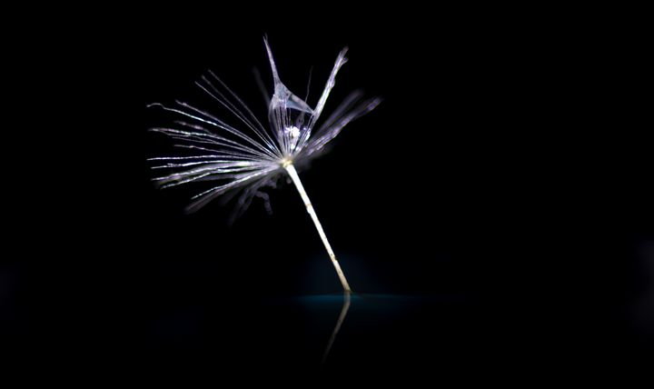 macro dandelion - 1978photography