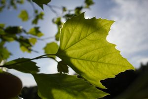 Green leaf of summer