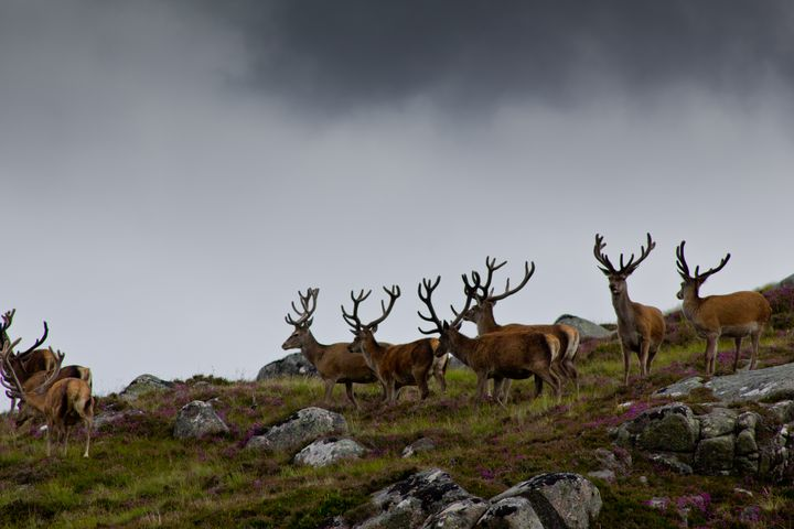 Lochnagar red deer landscape - 1978photography