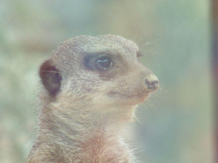 Meerkat - Derek Leathlean