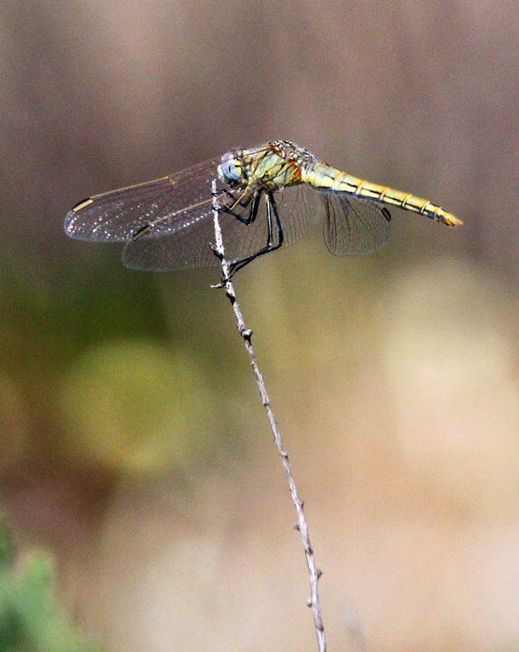 Dragonfly - Derek Leathlean