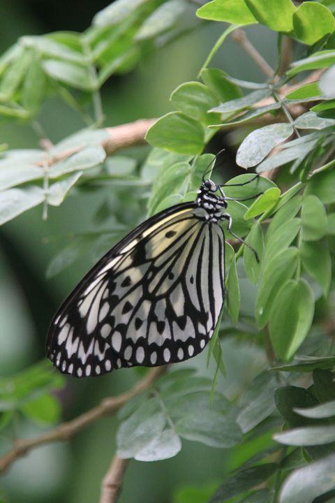 Butterfly - Derek Leathlean