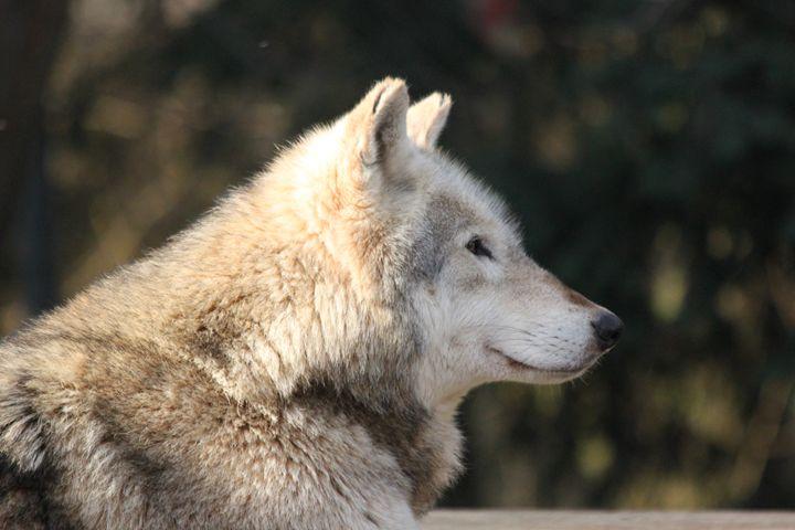 Wolf - Derek Leathlean