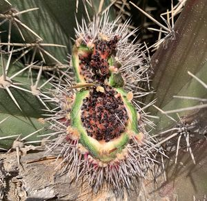 Yatu fruit