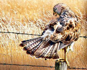 Furious Hawk