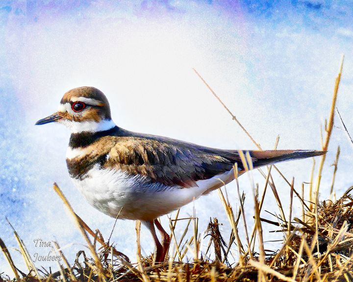 Killdeer Bird - In and Around Calgary Alberta