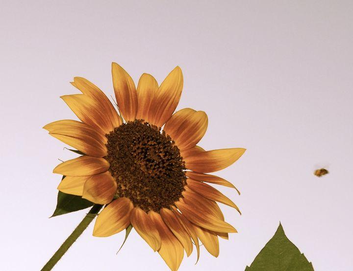 The Sunflower Bee - GuytoniousPhoto