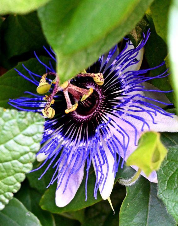 Passion Flower - Ellegant Photography & Paintings